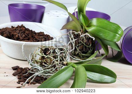 Orchid Replanting,  Lat. Phalaenopsis Cascade