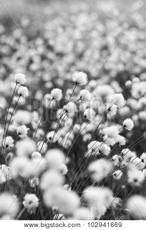 Flowering Cotton Grass