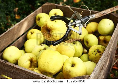 Yellow Big Apples And Pluck Stick Autumn Photo