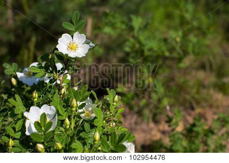 White Rose hip flower on the green background