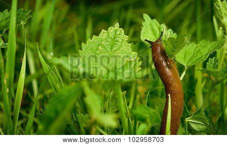 Spanish slug (Arion vulgaris) invasion in garden. Invasive slug. Garden problem. Europe. Copy space. poster