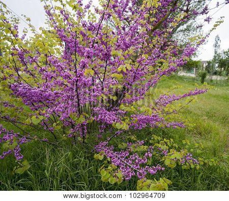 Blooming Bush Of Cercis In Crimea.