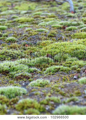 Beautiful green moss growing on a rock poster