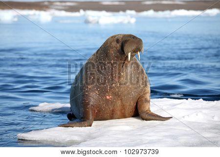 Walrus cow on ice floe