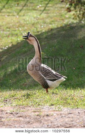Honking Goose!