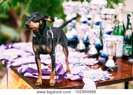 Small Young Black Miniature Pinscher Pincher Dog