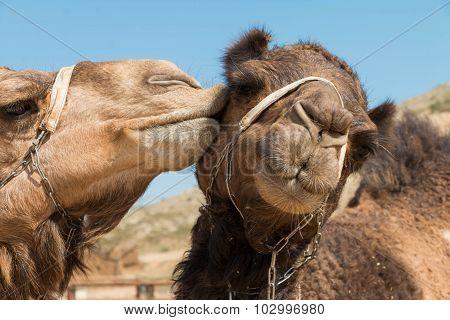 Kiss Camel
