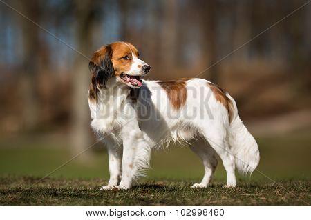 Kooikerhondje Dog Outdoors In Nature