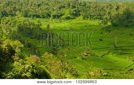 Rice terraces on the volcano Agung. Bali. Indonesia.