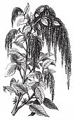 Foxtail amaranth, love-lies-bleeding, pendant amaranth, tassel flower, velvet flower, quelite or Amaranthus caudatus vintage engraving. Vector, isolated cut-out. poster