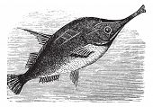 Longspine Snipefish or Bellowfish or Spine Trumpetfish or Macroramphosus scolopax, vintage engraving. Old engraved illustration of Longspine Snipefish. poster