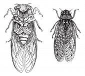 Cicada or Cicadidae or Tettigarctidae, vintage engraving. Old engraved illustration of Cicadas. Trousset Encyclopedia poster