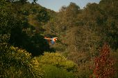 beautiful scarlet macaw flying freely above the trees poster
