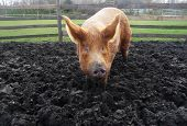 A close up image of a Big Muddy Pig poster