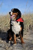 a bernese cattle dog at a beach of the baltic sea in germany poster