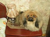 funny dog (pekinese) humour animal fun pet poster