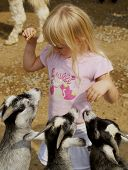 three hungry goats wanting food from a little girl at the petting zoo. poster