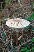 View of an open parasol mushroom Macrolepiota procera edible fungus poster