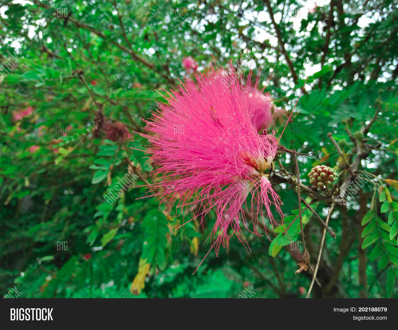 Pink Spiky Flower Image Photo Free Trial Bigstock