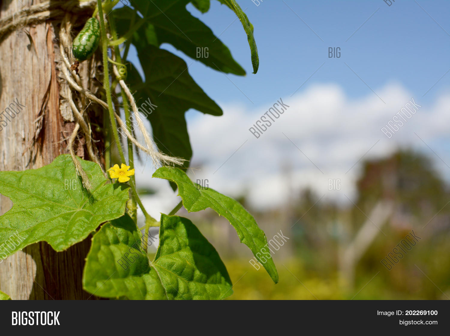 Small yellow flower on image photo free trial bigstock small yellow flower on cucamelon vine mightylinksfo