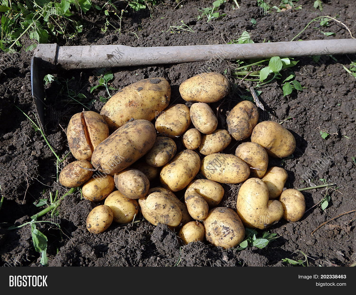 Potato Harvesting , Image & Photo (Free Trial) | Bigstock