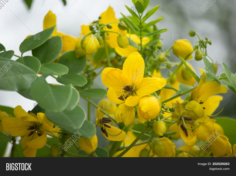 Yellow flower thai image photo free trial bigstock yellow flower of thai copper pod or cassod tree mightylinksfo