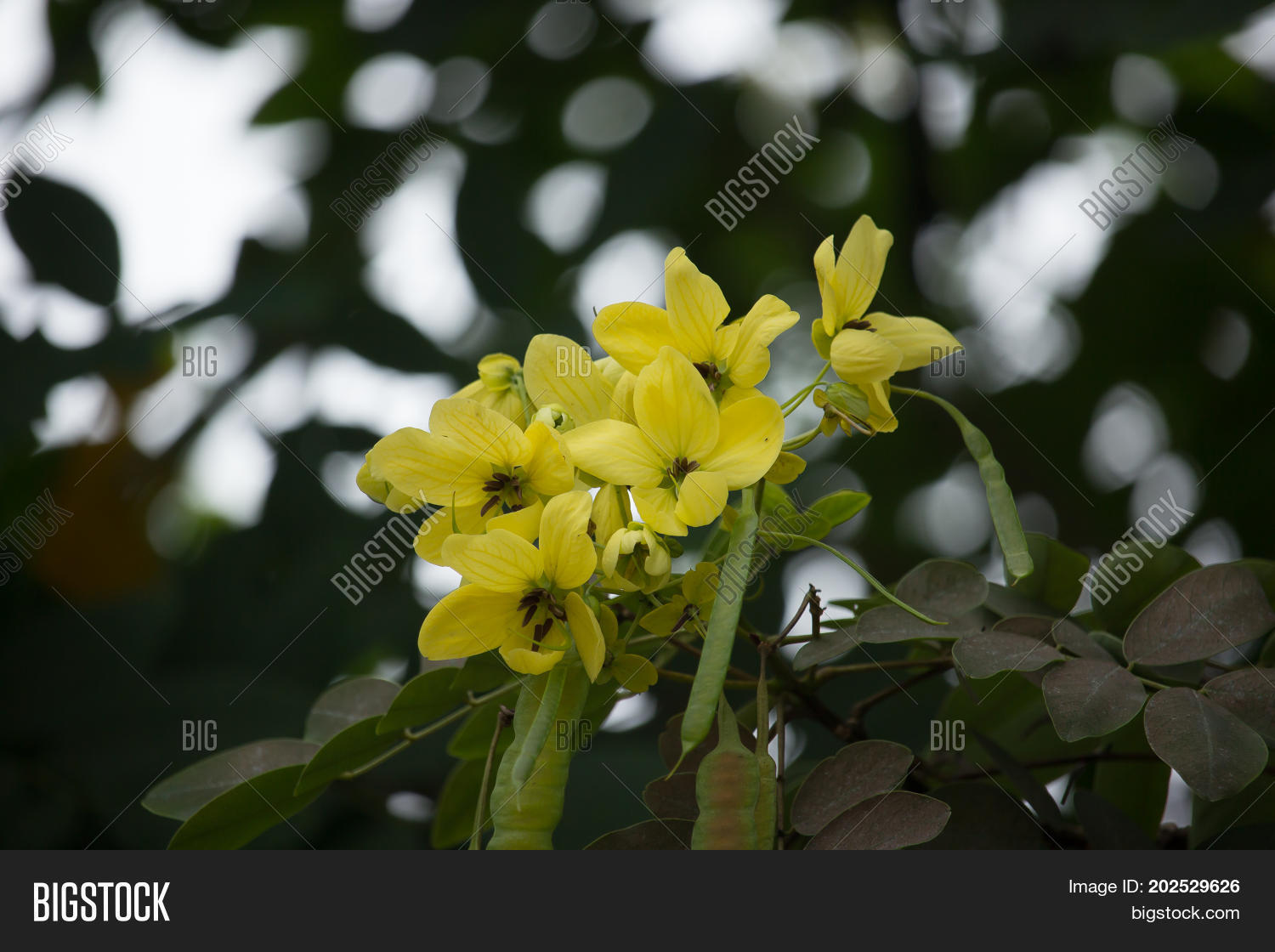 Yellow flower thai image photo free trial bigstock yellow flower of thai copper pod or cassod tree mightylinksfo