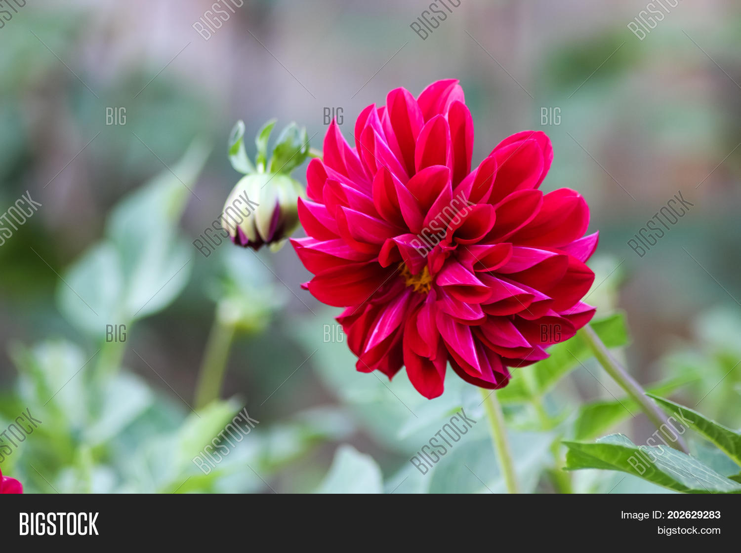 Red Bright Deep Colored Flowers Image & Photo   Bigstock