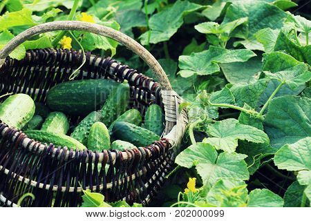 Fresh harvest of cucumbers in a basket. Gardening background with green plants .