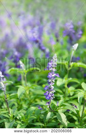Natural flower background, nature purple flowers blooming in garden under sunlight at the middle of summer day, Purple  salvia in garden.