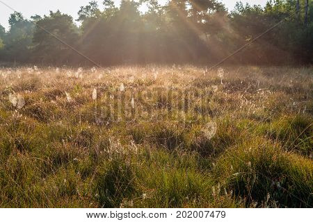 Crepuscular rays and lots of dewy spider webs between the grass and the flowering heath of a Dutch nature reserve early in the morning.