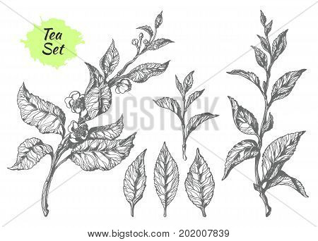 Set of tea bush branches with leaves and flowers. Botanical drawing. Sketch hatching. Realistic. Nature. Organic product. Vector isolated on white background eps.10