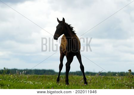 Foal On The Pasture