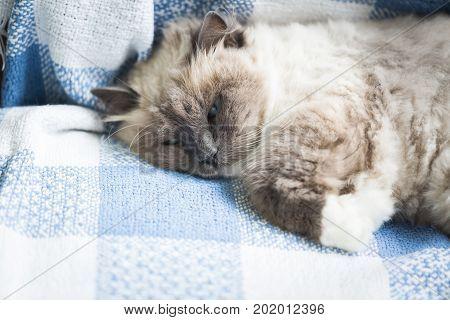 Beautiful Neva Masquerade Cat Portrait