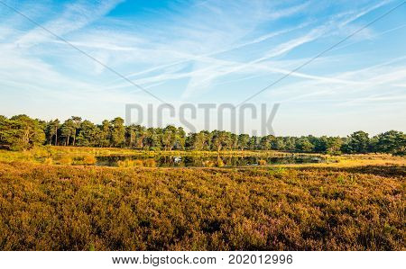 Contrails in the blue sky above a Dutch nature reserve with a fen and flowering heath on a sunny and windless day in the summer season.