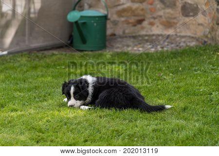 Tired dog puppy is in the meadow - Australian Shepherd