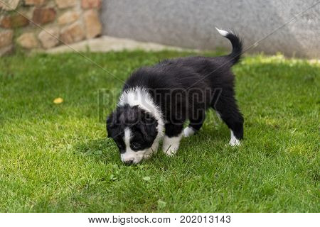 Puppy of an Australian Shepherd sniffs in the meadow