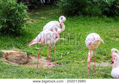 The James's flamingo (Phoenicoparrus jamesi) or Puna flamingo birds prinking on a green meadow