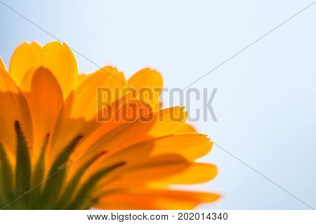 Marigold Flower (calendula Officinalis) In Close Up
