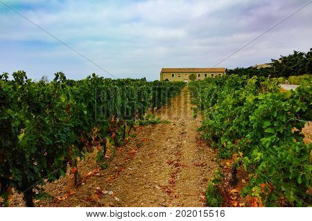 Vineyard In Domaine De Maguelone Near Montpellier, South France, Red Wine Grape