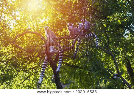 Family of madagascar lemurs on tree in jungles in sun light. Wildlife in jungles