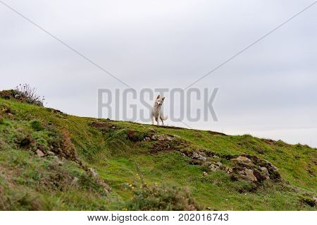 White swiss shepherd at the top of a hill, France