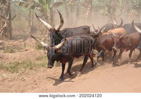 Some large Ankole-Watusi longhorns in the dust