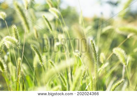 green young spikelets strong blur nature background