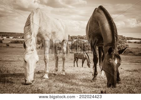 Two brown and white wild horses on meadow idyllic field. Agricultural mammals animals in natural environment.
