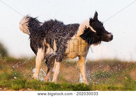 Border Collie Shakes The Wet Fur