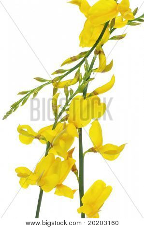 spanish broom flowers on a white background