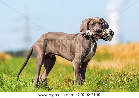Portrait Of A Great Dane Puppy With A Toy In The Snout