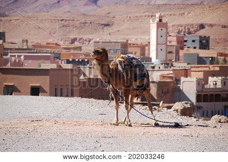 Morocco, camels are the ship of the desert