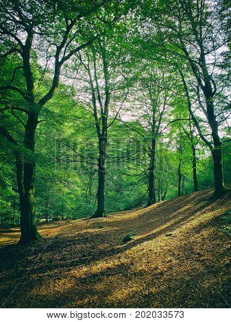 forest clearing in sloping hilly woodland with summer beech trees and dappled sunlight